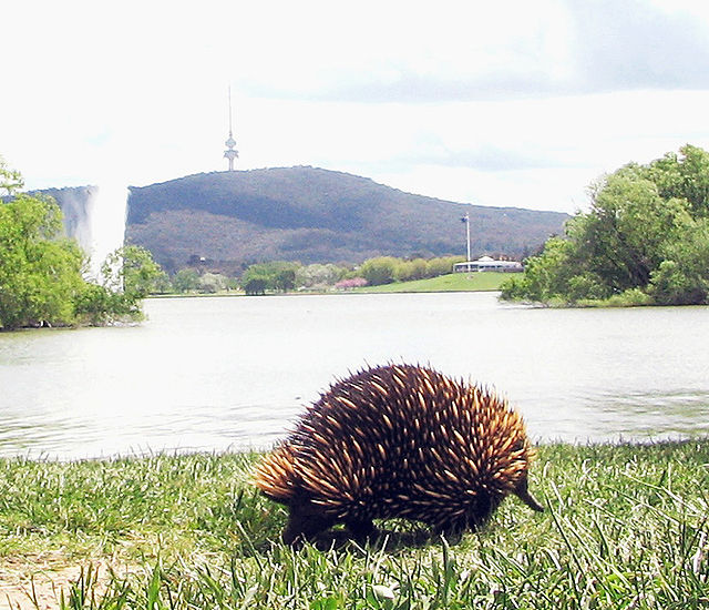 Echidna in the Park