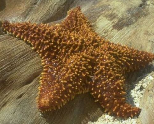 Echinoderm Sea Star