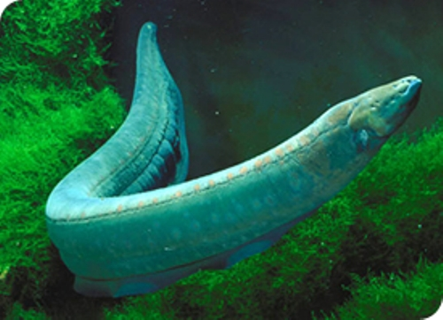Electric Eel facts