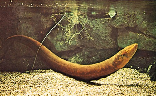 Electric Eel in Water