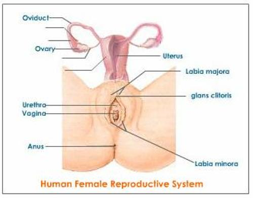 Female Reproductive System facts
