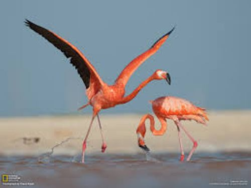 Flamingo Flies