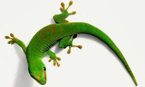 Gecko Animal