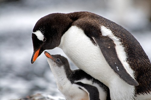 Gentoo Penguin facts