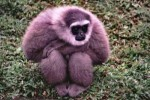 10 Interesting Gibbon Facts