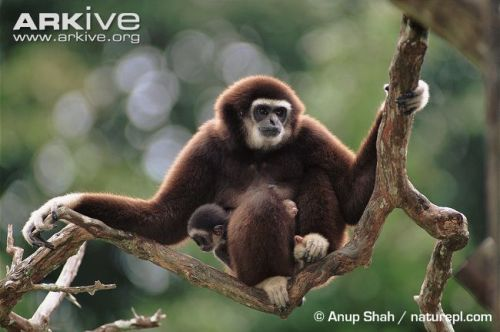 Gibbon Sitting on a Branch