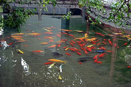 Goldfish in a Pond