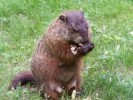 10 Interesting Groundhog Facts