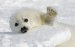 10 Interesting Harp Seal Facts