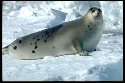 Harp Seal facts