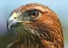 10 Interesting Hawk Facts