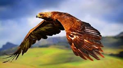 Hawk Flies