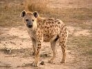 10 Interesting Hyena Facts