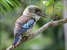 10 Interesting Kookaburra Facts