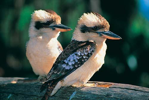 Kookaburra facts