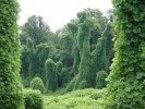 10 Interesting Kudzu Facts