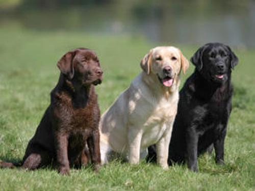 Labrador Colors