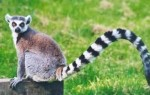 10 Interesting Lemur Facts