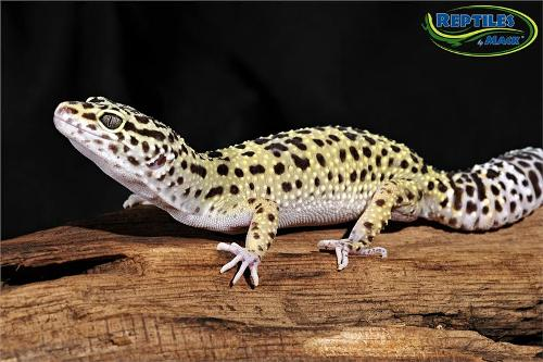 Pics of adult leopard geckos understand this