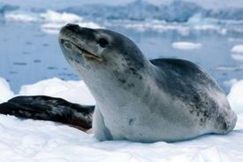 Leopard Seal Facts
