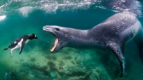 Leopard Seal Pic