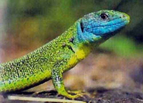 Lizard in Green Color