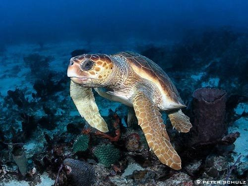 Loggerhead Sea Turtle Facts