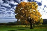 10 Interesting Maple Tree Facts
