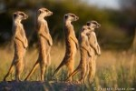 10 Interesting Meerkat Facts