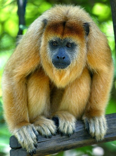 Howler Monkey Colors