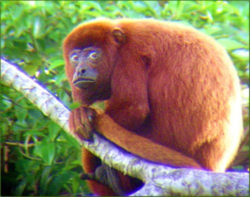 Howler Monkey Red