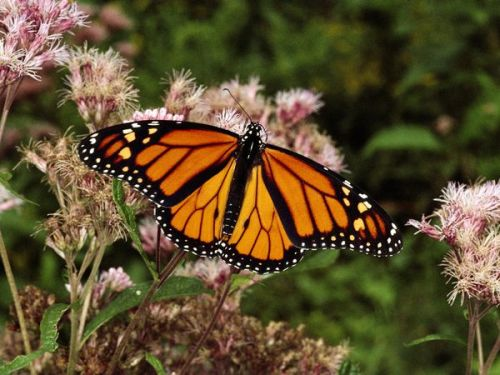 Monarch butterfly Beauty