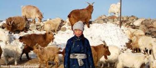 Mongolia Cattle