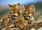 10 Interesting Mountain Lion Facts