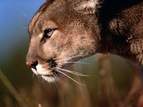Mountain Lion Strength