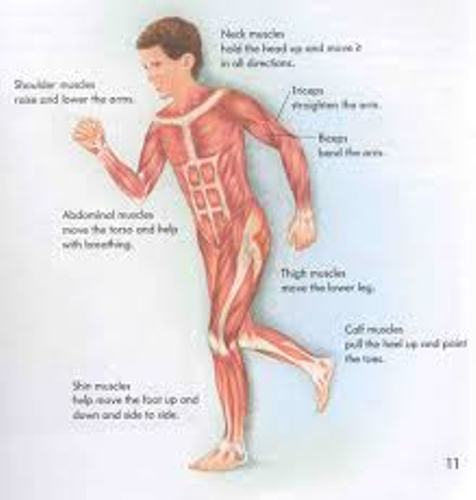 Muscular System Movement