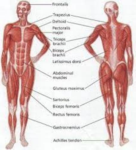 Muscular System picture