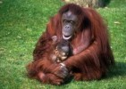 10 Interesting Orangutan Facts