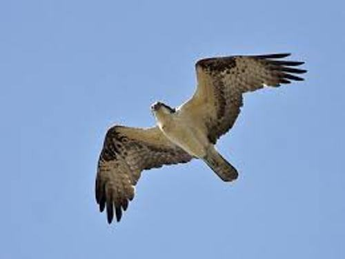 Osprey Wingspans