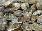 10 Interesting Oyster Facts