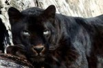 10 Interesting Panther Facts