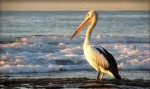 10 Interesting Pelican Facts