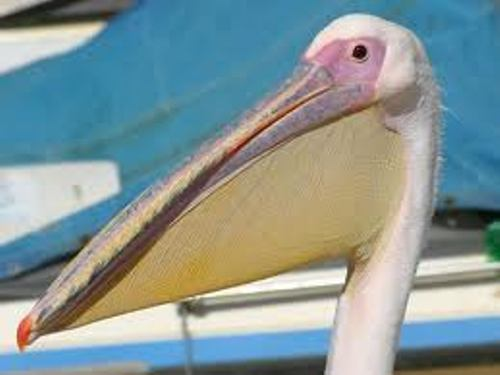 Pelican Mouth