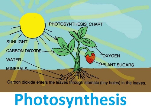 Photosynthesis Image