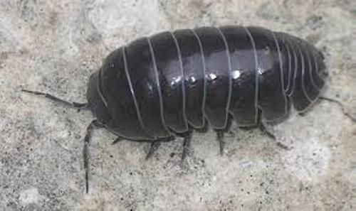 Pill Bug Black