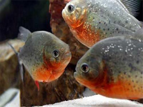 10 interesting piranha facts my interesting facts for Piranha fish finder