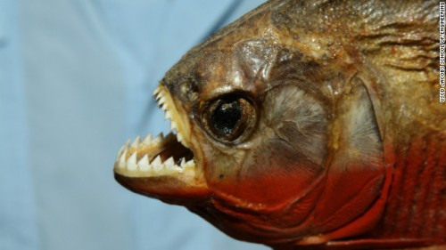 Piranha teeth