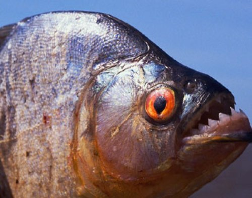 10 Interesting Piranha Facts - My Interesting Facts