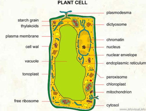 10 Interesting Plant Cell Facts | My Interesting Facts
