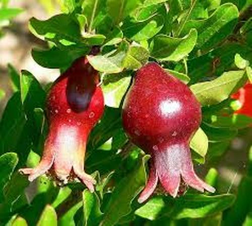 Pomegranates Tree